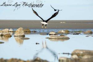 Bald Eagle Homer June 30 2015 22 LOW Watermark