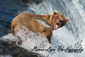 Brown Bear Katmai National Park July 2 2015 41 Crop LOW Watermark