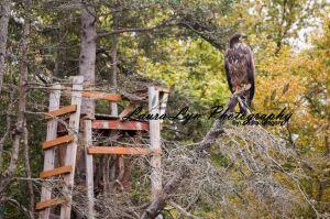 Bald Eagle 1 Watermark Blog