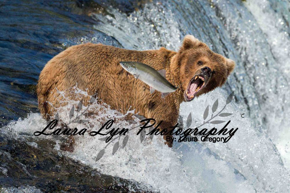 Brown Bear Katmai National Park July 2 2015 41 Crop LOW Watermark Blog