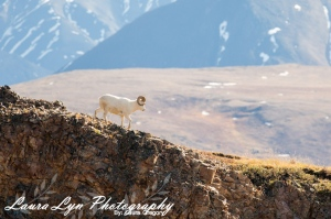 Dall Sheep 3 Watermark