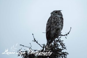 Great Horned Owl 1 Watermark