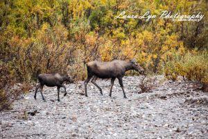 Moose 13 Watermark