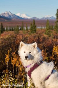 Nali in front of Denali_Watermark