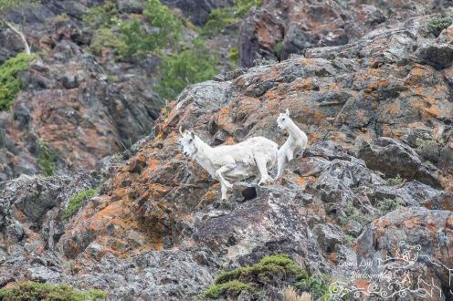 Dall Sheep South of Anchorage June 26 (5 of 8) Watermark
