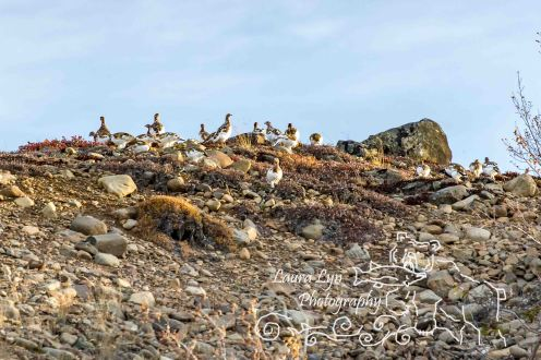 ptarmigan-2-of-1-watermark
