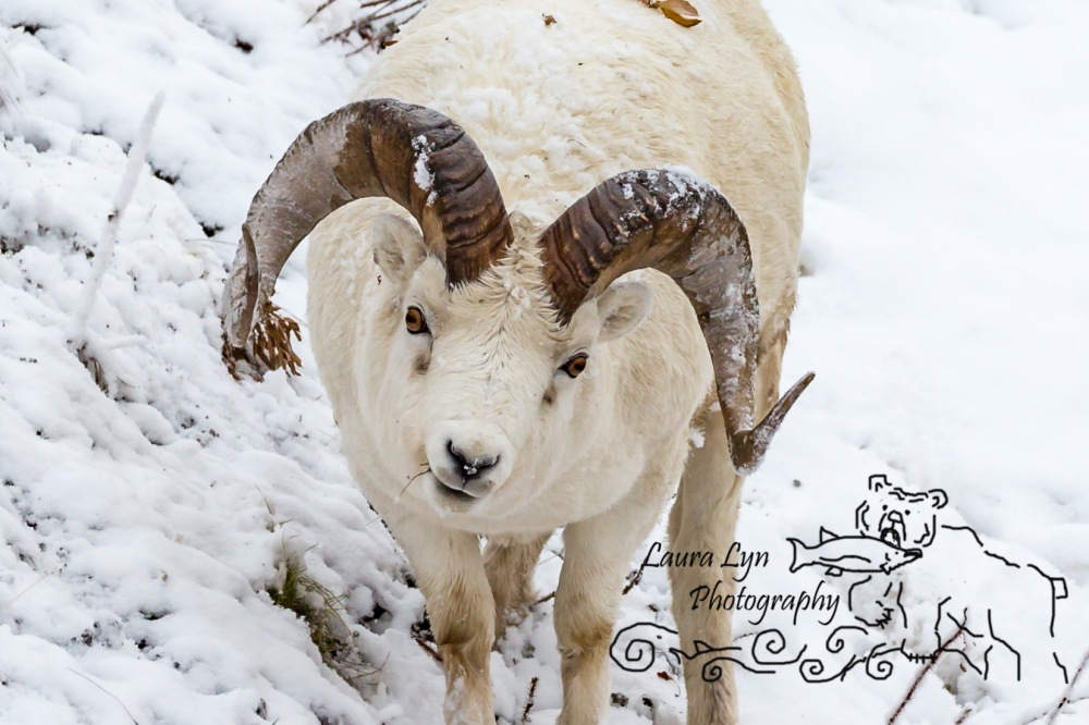 sheep-september-denali-2015-watermark