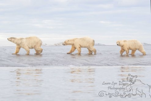 polar-bear-kaktovik-september-19-2-of-1-watermark