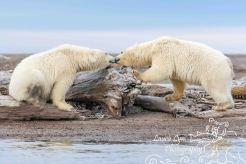 polar-bear-kaktovik-september-20-6-of-1-watermark-blog