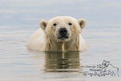 polar-bear-kaktovik-september-22-5-of-1-watermark-blog