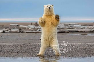 polar-bears-september-20-2016-1-of-1-watermark