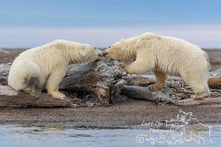 polar-bears-september-20-2016-35-of-62-watermark-blog