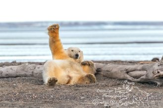 polar-bears-september-21-2016-43-of-53-watermark-blog