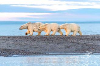 polar-bears-september-21-2016-9-of-53-watermark-blog