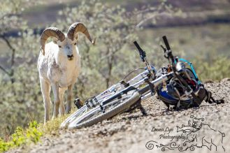 sheep-bike-denali-national-park-5-2015_blog